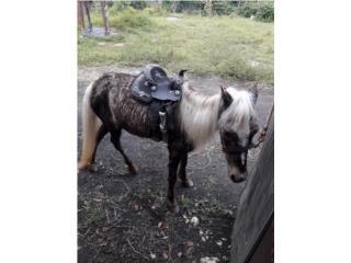 Pony hembra Puerto Rico