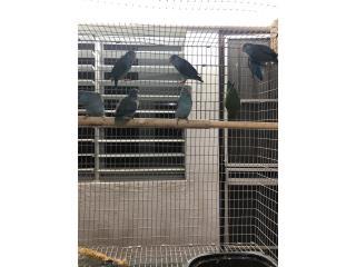 Parrotlet azul gris jóvenes  Puerto Rico