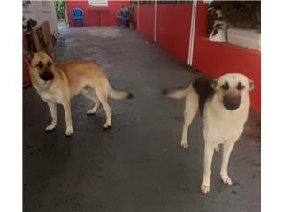 Pareja de German Shepherd  Puerto Rico