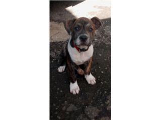 Se vende pitbull de 3 meses color tigre $140 Puerto Rico