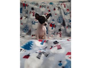 Chihuahua machito Puerto Rico