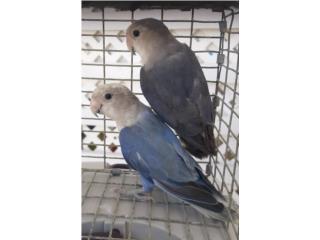 PAREJITA DE LOVE BIRDS JOVENES Puerto Rico