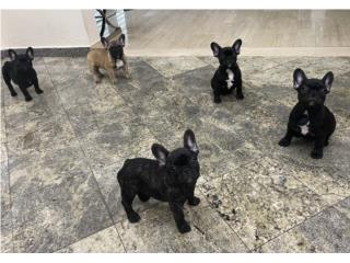 Puerto Rico French Bulldogs primera calidad , Perros Gatos y Caballos