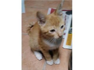 Adopte gatito macho amarillo 2 meses gratis  , Mascotas Puerto Rico