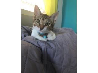 Se da en adopción a gatita de 6 meses vacuand Puerto Rico