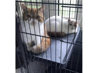 Pareja de Exotic Cats Puerto Rico