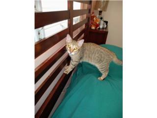 Lindo gatito super jugueton y cariñoso Puerto Rico