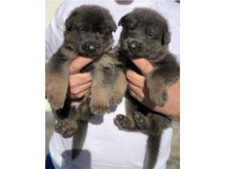 Puerto Rico Blue and red german shepherd AKC, Perros Gatos y Caballos