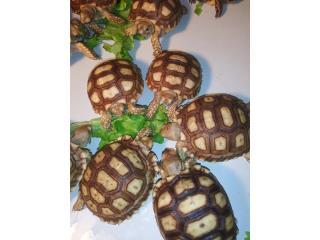 Tortugas sulcatas BB nacidos en Puerto Rico Puerto Rico