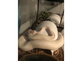 Super mojave ball python blanca  Puerto Rico