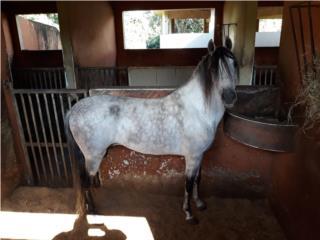 Precioso caballo  Puerto Rico