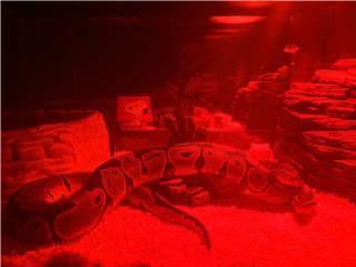 ball python macho Puerto Rico