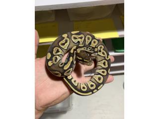Ball python Mojave Hembra Puerto Rico