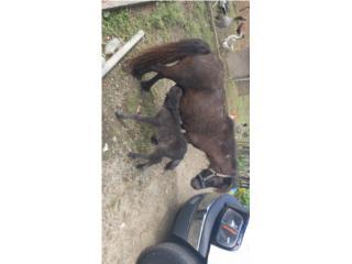Cv pony  Puerto Rico