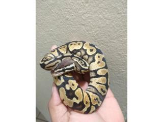 Ball Python reptil serpiente Puerto Rico