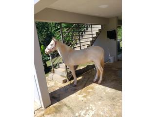 Precioso albino para la venta  Puerto Rico