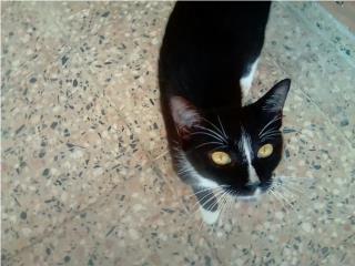 Hermosa y amorosa gatita para adopcion Puerto Rico
