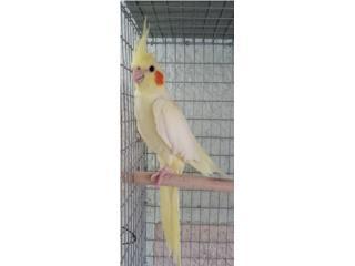 Cockatiel Lutina Hembra En Venta Puerto Rico