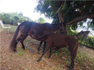 Yegua7.4 con potranca Puerto Rico