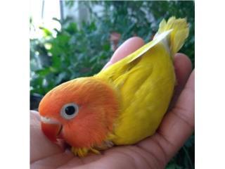 LOVEBIRD HANDFEED Puerto Rico