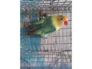 Lovebird anillada Puerto Rico