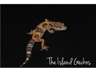 Leopard gecko juveniles  Puerto Rico
