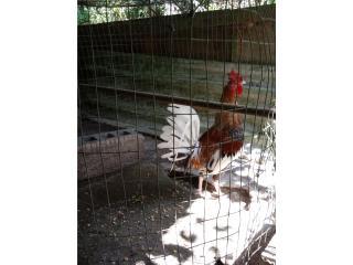 Gallo de pelea bulico Puerto Rico