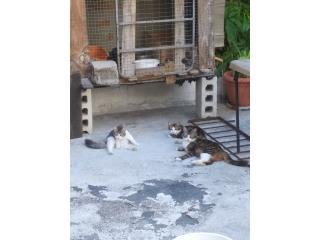 Gatos en adopcion Puerto Rico