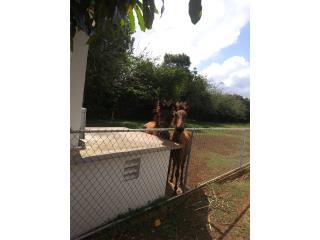 Yegua con potranca 8meses Puerto Rico