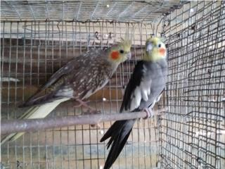 Pareja de cockatiel Puerto Rico