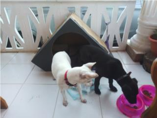 Chihuahua terrier y perrito mix Puerto Rico