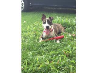 En adopción preciosa pit bu bull/bulldog) Puerto Rico