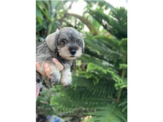 Schnauzer miniatura macho Puerto Rico