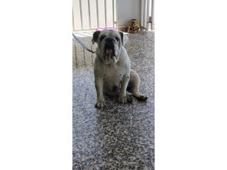 Perra bulldog ingles Puerto Rico
