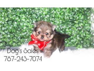 Tiny Pomeranian Puerto Rico