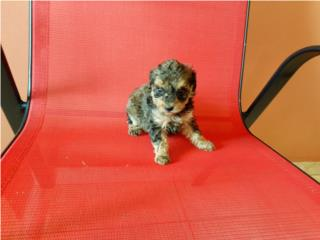 ESPECTACULAR TOY POODLE CHOCOLATE/TAN-PAPELES Puerto Rico