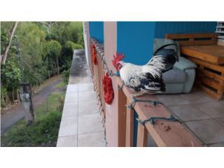 Kiki papujo jiro negro paticolto Puerto Rico