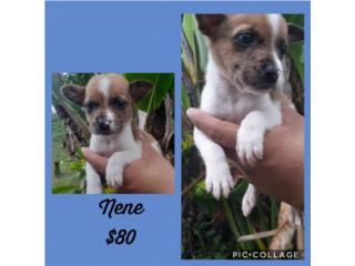 Chihuahua nene  Puerto Rico