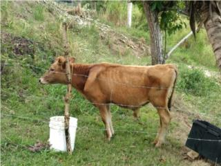 Se vende toro Jersey de 7 meses Puerto Rico