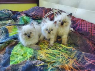 Gatos himalaya Puerto Rico