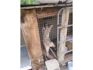 Gatos en adopción Puerto Rico