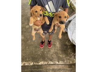 Los rescate para adopción  Puerto Rico
