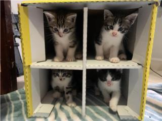 Hermosos gatitos Puerto Rico