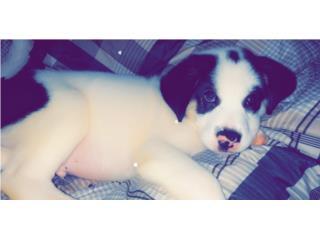 Se regala puppy de 3 meses Puerto Rico