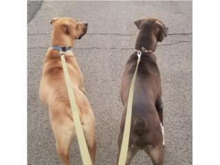 Perros pitbull/labrador mix Puerto Rico