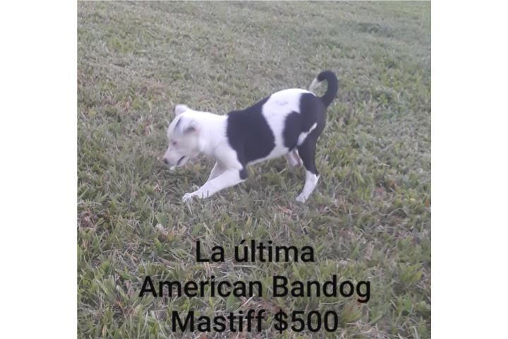 American Bandog Mastiff Puerto Rico
