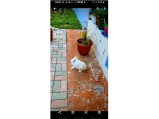 Conejo Leon enano En Adopción  Puerto Rico