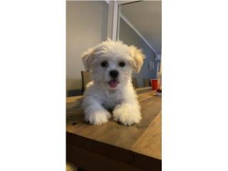 Hermosa Puppy Shitzu Nena Puerto Rico
