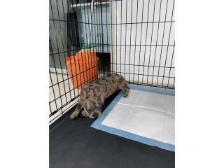 French Bulldog Merle Esterilizada Hembra Puerto Rico