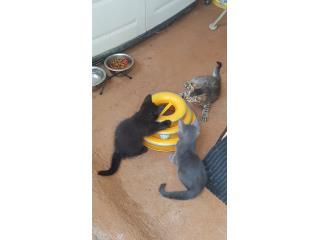 Gatitos pequeños Puerto Rico
